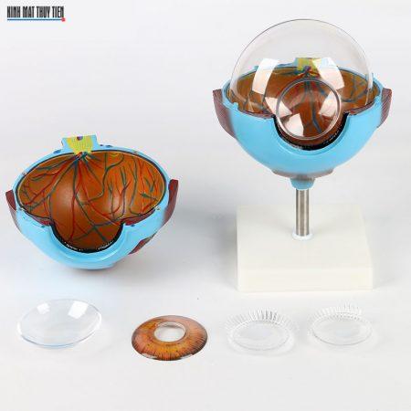Mô hình giải phẫu mắt người LYQ-1